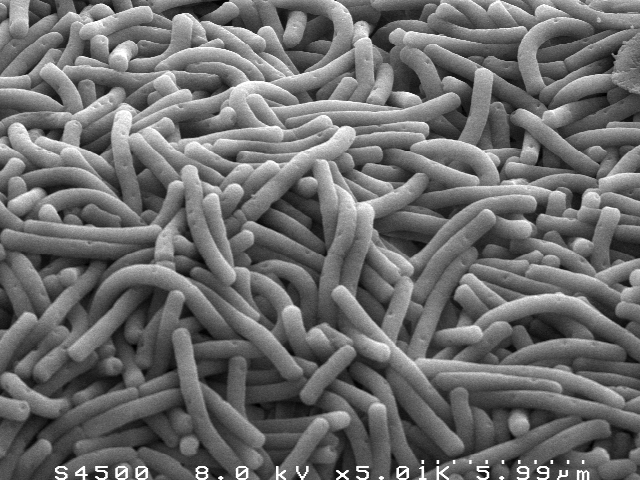 gambar bakteri Lactobacillus Bulgaricus